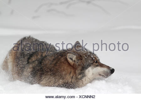 Germany, Bavaria, Lower Bavaria, national park the Bavarian Forest, enclosure zone, wolf, Wolfe, Canis lupus, snow, - Stock Photo