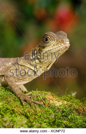 Weber's sail-fin lizard, Webers sail-fin dragon, green sail-fin dragon, soa soa (Hydrosaurus weberi), portrait - Stock Photo