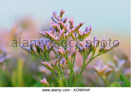common sea-lavender, mediterranean sea-lavender (Limonium vulgare), blooming, Netherlands, Texel, Netherlands - Stock Photo