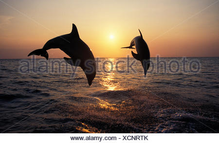 Bottlenose Dolphin, tursiops truncatus, Adults Leaping at Sunset, Honduras - Stock Photo