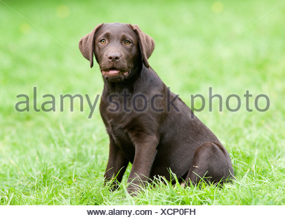 Labrador Retriever puppy UK - Stock Photo
