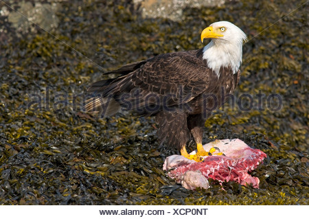 Adult Bald eagle on carcass, Victoria, Vancouver Island, British Columbia, Canada - Stock Photo