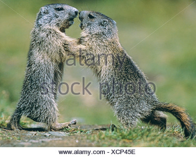 two young Alpine marmots - playing / Marmota Marmota - Stock Photo