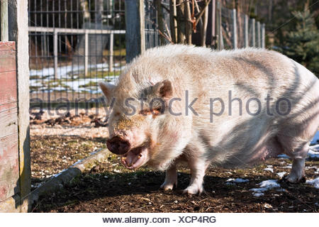 tired pig - Stock Photo