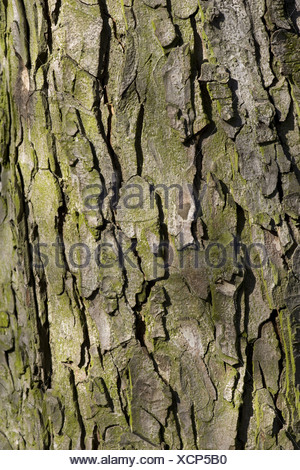 Horse-chestnut, Aesculus hippocastanum - Stock Photo