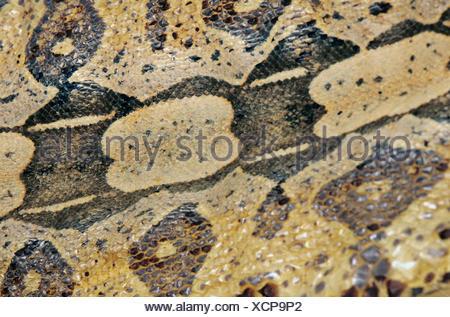 Red-tailed Boa (Boa constrictor), skin - Stock Photo
