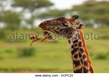 giraffe (Giraffa camelopardalis), red-billed oxpecker eating other insects, Tanzania, Ngorongoro Conservation Area - Stock Photo