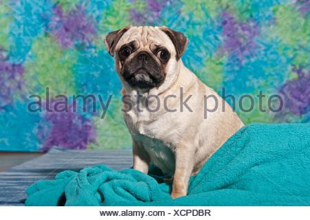 Sitting Pug - Stock Photo