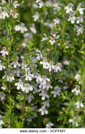 Winter savory (Satureja montana), blooming - Stock Photo
