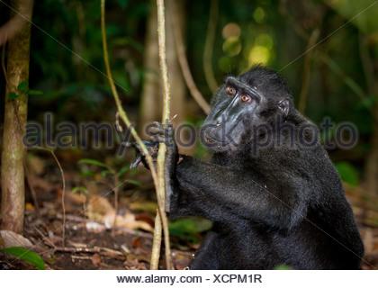 Black macaque, Sulawesi, Indonesia - Stock Photo