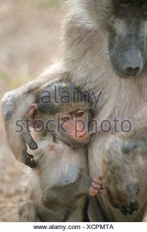 Chacma Baboon, Papio ursinus with young, Kruger National Park, Mpumalanga Province, South Africa - Stock Photo