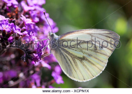 Green-veined white, Green veined white (Pieris napi, Artogeia napi), on lilac flowers, Germany - Stock Photo
