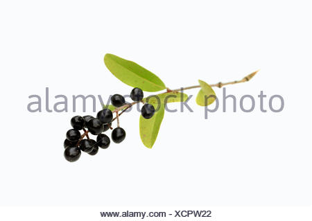 Wild Privet, Common Privet or European Privet (Ligustrum vulgare), branch with ripe berries - Stock Photo