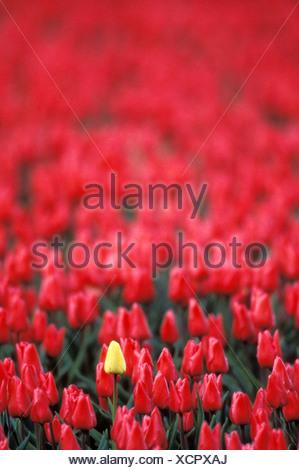 Single yellow tulip growing in farm field of red tulips - Stock Photo