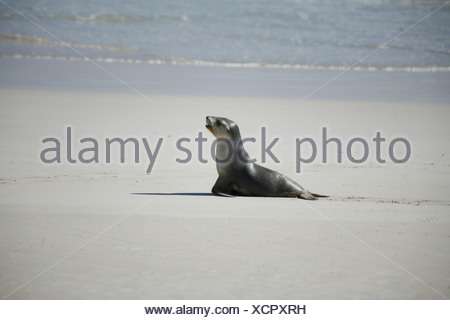 Baby Sea Lion searching for its mother in the Seal Bay on Kangaroo Island, South Australia, Australia - Stock Photo