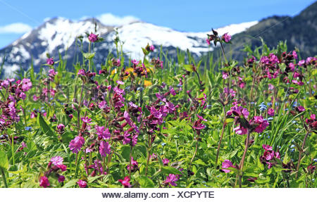 Mountain pasture, flowers, red campions, - Stock Photo