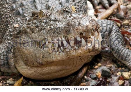 Estuarine Crodocile / (Crocodylus porosus) / Saltwater Crocodile - Stock Photo