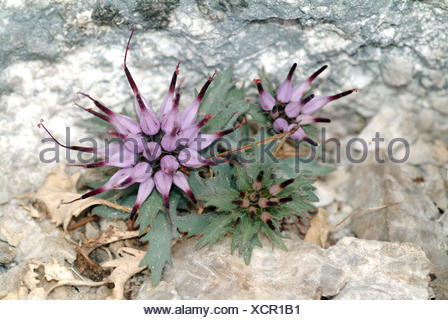 tufted horned rampion, physoplexis comosa - Stock Photo