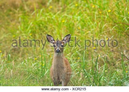 Sitka black-tailed deer (Odocoileus hemionus sitkensis). Near Skidegate. Graham Island. , Haida Gwaii (formerly the Queen Charlotte Islands), British Columbia, Canada - Stock Photo