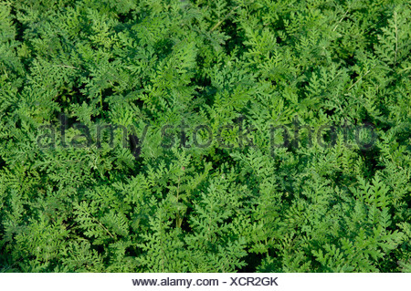 bee food, tansy scorpion-weed (Phacelia tanacetifolia), undersown crops - Stock Photo