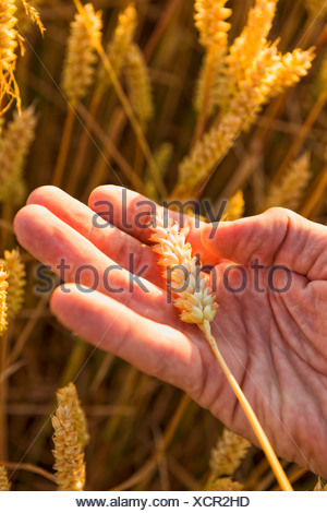 Hand holding ripe wheat, close-up - Stock Photo