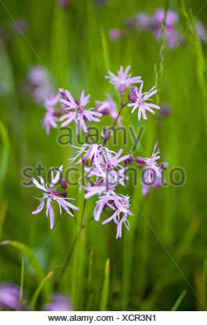 Cuckoo's campion in the meadow, - Stock Photo