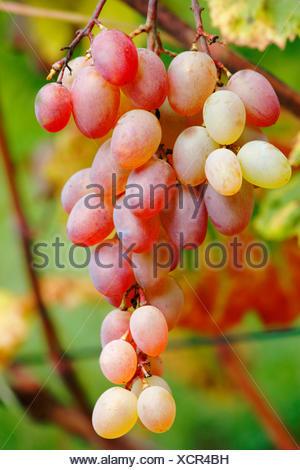 grape-vine, vine (Vitis vinifera), black grapes on the vine stock, Germany, Baden-Wuerttemberg - Stock Photo