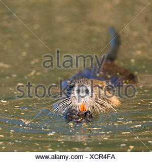 coypu, nutria (Myocastor coypus), swimming, front view, France, Camargue - Stock Photo