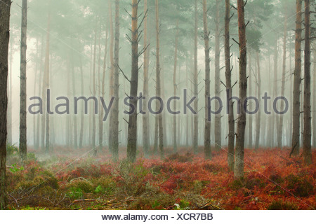Pine trees in mist at dawn - Stock Photo