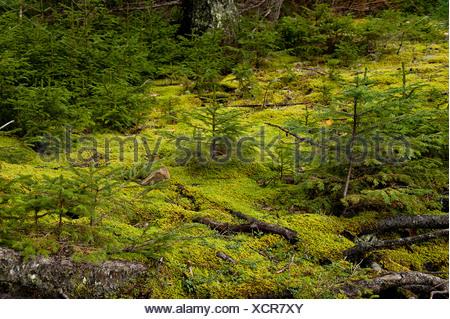 Seedling conifer trees, Pretty Marsh, Acadia NP, Maine, - Stock Photo