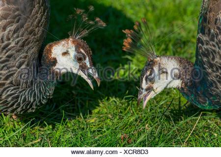 common peafowl (Pavo cristatus), two peafowls searching food, Germany, North Rhine-Westphalia - Stock Photo