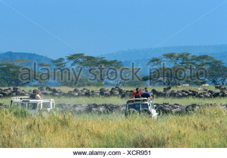 blue wildebeest, brindled gnu, white-bearded wildebeest (Connochaetes taurinus), migrating herd, watching by safari tourists, T - Stock Photo