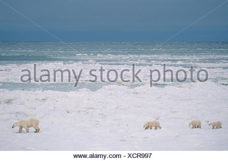 Polar bear mother with three cubs (unusual), Ursus maritimus, on nearshore ice near Churchill, Manitoba, Canada - Stock Photo