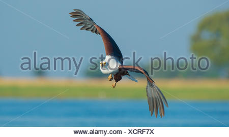 African fish eagle (Haliaeetus vocifer) in flight, Chobe National Park, Botswana. - Stock Photo