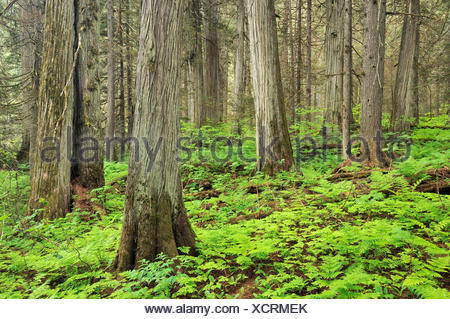 Old growth in inland temperate rain forest on Giant Cedars Trail  Mount Revelstoke National Park British Columbia Canada - Stock Photo