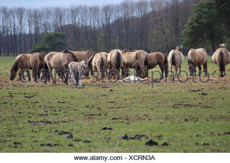 wild, horse, horses, herd, foal, reservation, glade, germany, german federal - Stock Photo