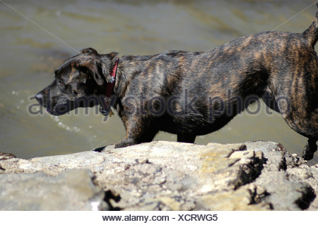 A family dog playing and exploring on a rocky beach with tide pools in Southern California USA  - Stock Photo
