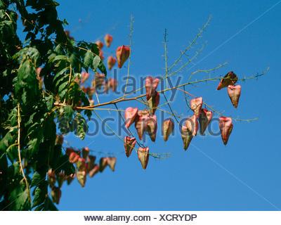 golden rain tree (Koelreuteria paniculata), branch with fruits against blue sky - Stock Photo