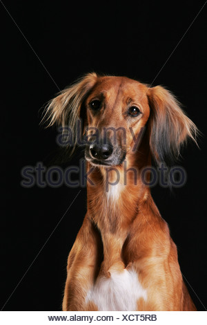 Saluki Portrait - Stock Photo