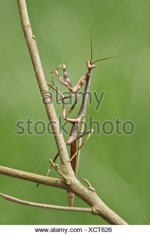 A Praying Mantis perched on a branch at the Mindo Loma  reserve in northwest Ecuador. - Stock Photo