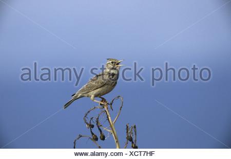 Crested Lark Galerida cristata Perched on twig Singing Greece - Stock Photo
