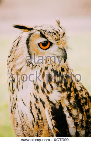 Close-Up Of Eurasian Eagle Owl Outdoors - Stock Photo