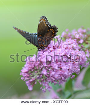 insect flower plant bloom blossom flourish flourishing butterfly summer summerly outdoor wildlife antenna admiral wings nature - Stock Photo