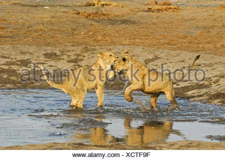 playing lions - Stock Photo