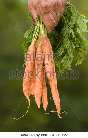 Human hands holding carrots, close-up - Stock Photo