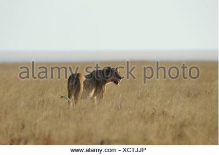 lion female (panthera leo), etosha, namibia - Stock Photo