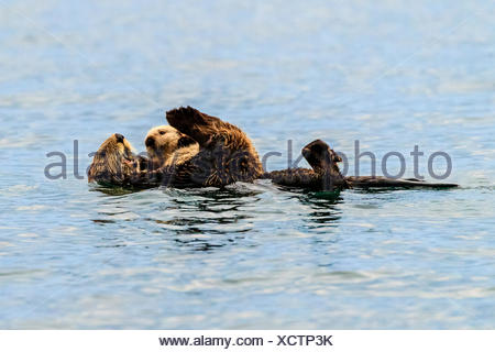 Sea otter, Enhydra lutris, mother and pup in Kachemak Bay. - Stock Photo