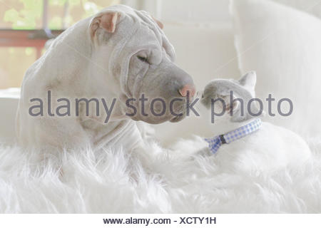 Shar-pei puppy and British shorthair kitten lying on a rug touching noses - Stock Photo