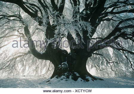 Sunlight and snow covered tree - Stock Photo