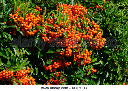 Firethorn cultivar Orange Glow - pyracanth - evergreen thorn (Pyracantha hybrid Orange Glow) - Stock Photo